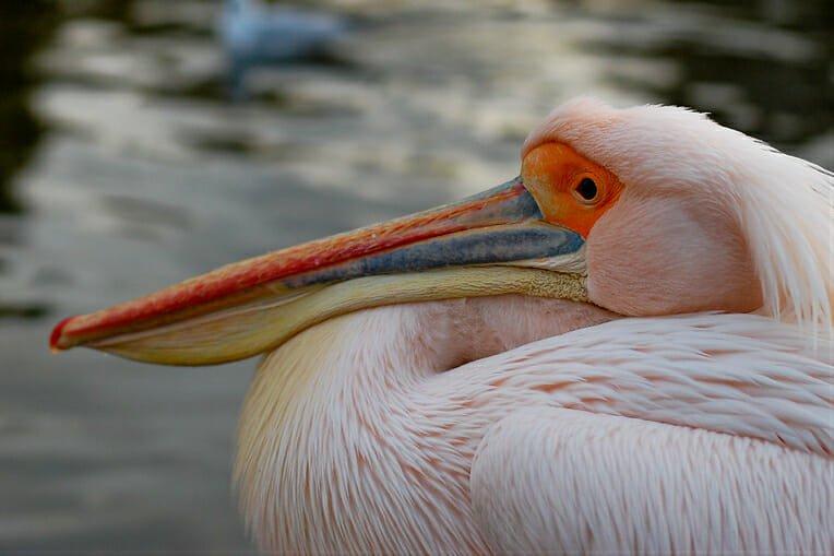 St James Pelicans