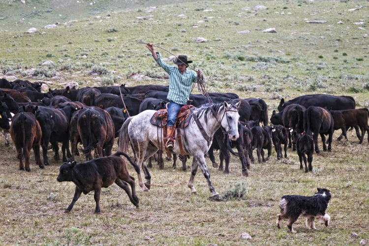Wyoming cattle drive - adventure holidays for the brave